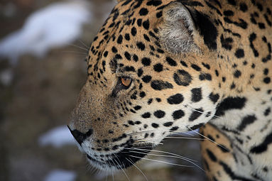 Jaguar (Panthera onca) Zoo Salzburg 2014 f.jpg