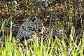Jaguar (Panthera onca) female resting in the shade ... (48676074541).jpg