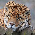 Jaguar 0412 6365a.jpg