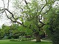 Japanese Pagoda Tree in University Parks, Oxford.jpg
