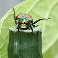 Japanese beetle on a green garden post (19295611240).jpg