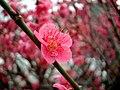 Japanese plum.jpg