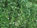 Jasminum grandiflorum 2.jpg