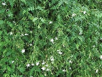Jasminum grandiflorum - Jasminum grandiflorum