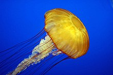 Pacific sea nettle (Chrysaora fuscescens) at Monterey Bay Aquarium