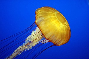 Jellyfish - Pacific sea nettle (Chrysaora fuscescens) at Monterey Bay Aquarium