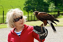Jennie Bond with Harris Hawk - Swinton Park.jpg