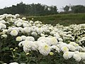 Jiuhu Chrysanthemum Field 九湖杭菊田 - panoramio.jpg