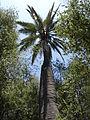 Jubaea chilensis (scott.zona) 006.jpg