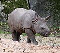 Junges Indisches Panzernashorn Puri Rhinoceros unicornis Tierpark Hellabrunn-8.jpg