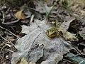Juvénile de Grenouille verte (Pelophylax kl. esculentus).jpg