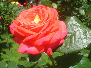 Königin der Rosen.JPG