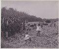 KITLV - 5420 - Kurkdjian - Soerabaja - Cutting Garden of the sugar company Ketanen at Mojokerto - 1916-04.tif