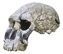 Reconstruction of the KNM-ER 1470 skull