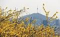 KOCIS Korea Seoul Spring Flowers 06 (8661613223).jpg