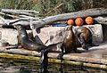 Kalifornischer Seeloewe Zalophus californianus Tiergarten-Nuernberg-1.jpg