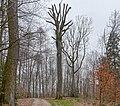Kandern Naturdenkmal Behleneiche.jpg