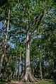 Kapok Tree Rio.jpg