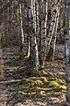 Karpatenbirkenwald Rotes Moor Hochrhön.jpg