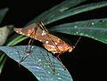 Katydid (Tettigoniidae) (7651185580).jpg