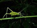 Katydid Nymph (Tettigoniidae) (8419570066).jpg