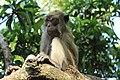 Kera Ekor Panjang (Monyet) Pulau Kembang, Barito Kuala, 26062017.jpg