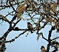 King of Saxony Bird of Paradise. Pteridophora alberti (48647545847).jpg