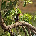 Kingfisher kanha.jpg