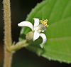 Kirmid (Grewia hirsuta) in Talakona forest, AP W IMG 8286