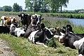 Koeien op Pondjespad P1050418.jpg