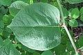 Korina 2012-06-18 Fallopia japonica 8.jpg