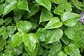 Korina 2013-05-12 Syringa vulgaris.jpg