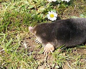 English: European mole Polski: Kret europejski