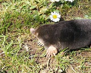 Mole (animal) animal