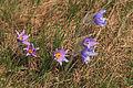 Kvetoucí koniklece v PP Kobylinec 10.jpg