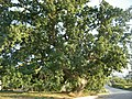 La secolare roverella di c.da Muti, comune di Chiaramonte Gulfi (Ragusa).jpg