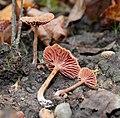 Laccaria vinaceobrunnea G.M. Muell 291182.jpg