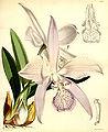 Laelia speciosa (as Laelia majalis) - Curtis' 93 (Ser. 3 no. 23) pl. 5667 (1867).jpg