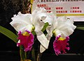 Laeliocattleya Melody Fair 'Carol' -香港沙田洋蘭展 Shatin Orchid Show, Hong Kong- (31442326156).jpg