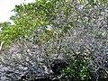 Laguncularia racemosa 0zz.jpg
