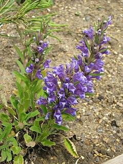 <i>Lallemantia</i> genus of plants