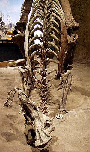 Lambeosaurus - L. lambei, Royal Tyrrell Museum