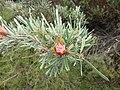 Lambertia Formosa.JPG