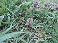Lamium purpureum - Deutschland - März 2014 005.JPG