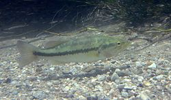 Largemouth bass - Micropterus salmoides.jpg
