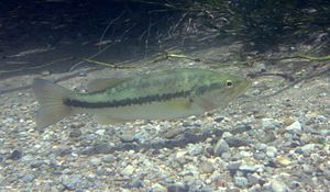 Largemouth bass (Micropterus salmoides). Canon...