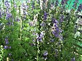 Larkspur from Lalbagh flower show Aug 2013 8058.JPG