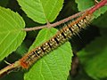 Lasiocampidae - Lasiocampa quercus (8303377376).jpg