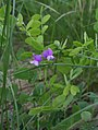 Lathyrus humilis 75025923.jpg