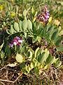 Lathyrus japonicus in Estonia.JPG